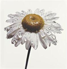 daisy....