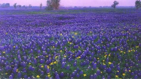 Bluebonnets of Texas...